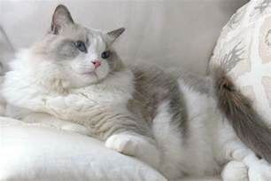 10 large cat breeds in the world tail and fur