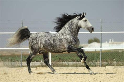 dapple grey horse horses andalusian dappled spanish gray colored pretty coat animals andalusians animal hair greys ash colors dark silver