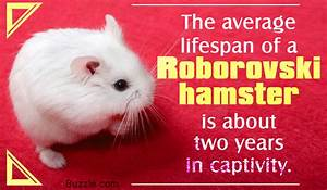 What You Should Know About the Cute Little Roborovski Hamsters