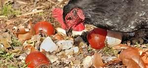 Que Donner A Manger A Un Ecureuil Sauvage : quoi donner manger mes poules blog conseils ferme ~ Dallasstarsshop.com Idées de Décoration