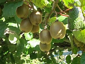 L Arbre Du Kiwi : kiwi comment avoir fleurs et fruits sur un actinidia ~ Melissatoandfro.com Idées de Décoration