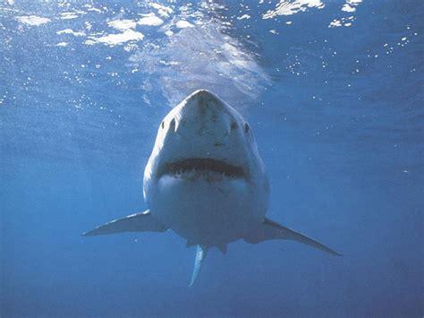 fondos de pantalla de tiburones wallpapers fondos de
