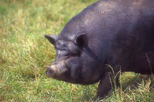 Black Pot Belly Pig