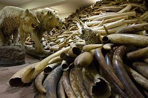 Cold War Radioactivity Can Date Illegal Elephant Ivory