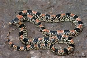 Black and Red Snake Arizona