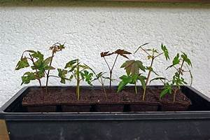 Ahorn Vermehren Steckling : stecklingsvermehrung acer p forum b ume ~ Lizthompson.info Haus und Dekorationen
