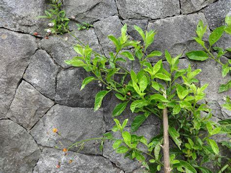 herbs  distant lands gynura procumbens sabungai