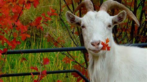 Autumn Animal Wallpaper - animals autumn goats leaves wallpaper allwallpaper in