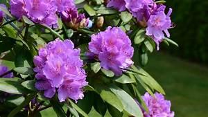 Rhododendron Blüten Schneiden : rhododendron schneiden so gelingt der richtige schnitt ~ A.2002-acura-tl-radio.info Haus und Dekorationen