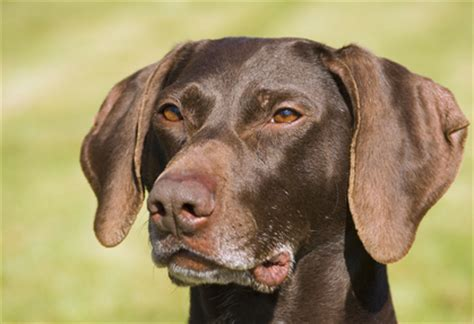 German Shorthaired Pointer Shedding by Doberman German Shorthaired Pointer Mix Breeds Picture
