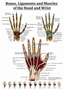 Anatomy of the Hand and Wrist from the right hand. Points ...