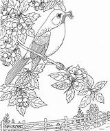 Robin Coloring Bird Pages State Flower Michigan Robins Birds Apple Adult American Printable Blossom Sheets Nature Printables Colouring Adults Purple sketch template