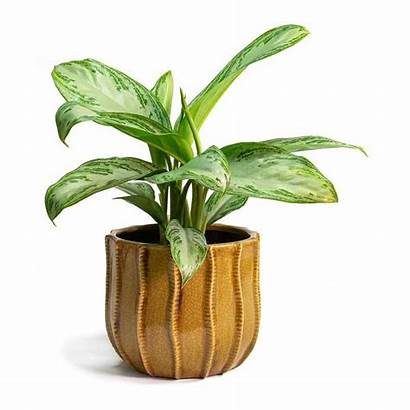 Evergreen Bay Chinese Silver Aglaonema Plant