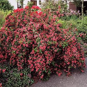 Blühende Hecken Sträucher : weigelie flowering shrubs bulb flowers shrubs ~ Watch28wear.com Haus und Dekorationen