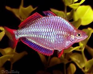 Rainbowfish on Pinterest