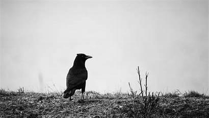 Raven Bird Bw Background 1080p Grass Laptop