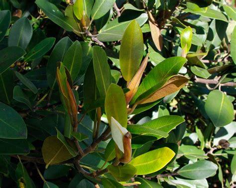 ficus rubiginosa leaves deep rust coloured glossy downy gardensonline leaf undersides