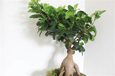 entretenir un azalee d interieur s entourer de belles plantes le ficus ginseng frenchy fancy