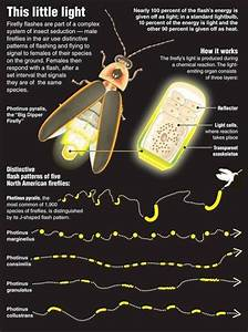 How Do Fireflies Emit Light