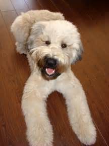 wheaton terrier a dorable i would love to have this big