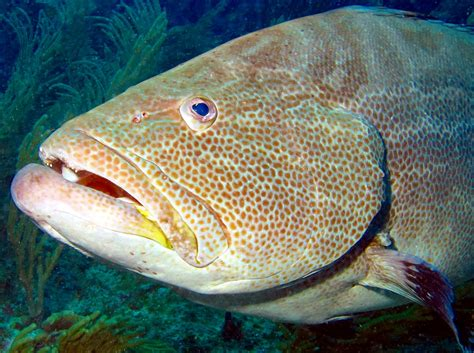 grouper belize location groupers reefs tropical