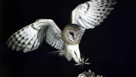 Do Barn Owls Eat Cats by Birds That Eat Rabbits Animals Me