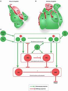 The Amygdala And Main Extrinsic And Intrinsic Circuits  A