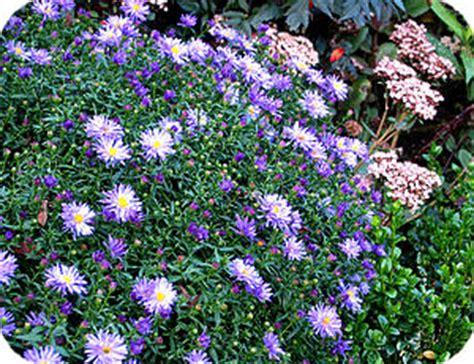 aconitum carmichaelii arendsii zonder bloem vaste planten die laat in het jaar bloeien zorgen voor