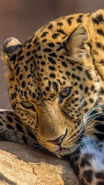 Iphone Wallpapers Leopard 6s Plus Backgrounds Retina