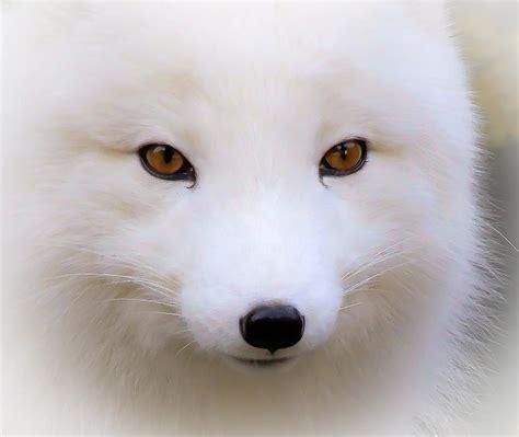 eyes   white fox photograph  athena mckinzie