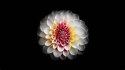 5k Flowers Wallpapers Flower Digital Dahlia Mojave