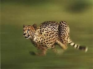 Vitesse Des Animaux : le gu pard les animaux les plus rapides du monde ~ Medecine-chirurgie-esthetiques.com Avis de Voitures
