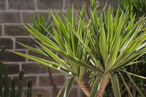 Yucca Palme Pflege Der Schwertblättrigen Grazie