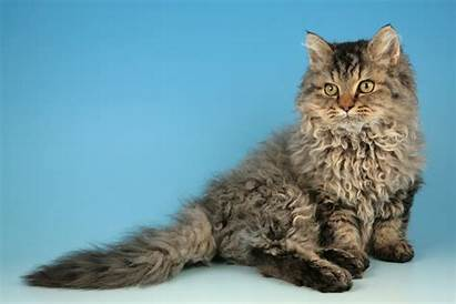 Cat Rex Selkirk Breed Curly Cats Haired
