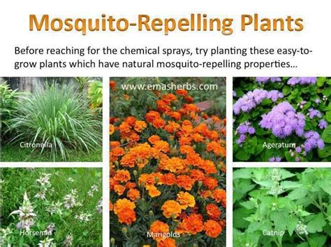 plants that mosquitoes mosquito repelling plants for the home outside pinterest