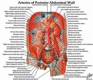 Dentistry And Medicine  Free Download Abdomen Spleen Liver