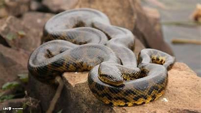 Anaconda Wallpapers Snake Desktop Background Facts Anacondas