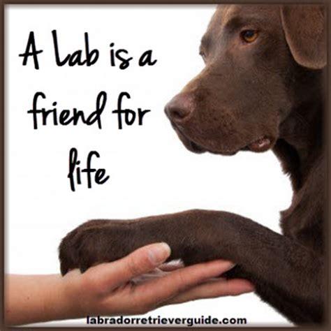 Labrador Meme - labrador meme 28 images 12 best labrador memes of all time best 25 chocolate labrador funny