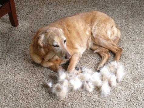 breeds that shed the most hair non shedding dogs types breeds and their characteristics
