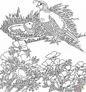 California valley quails and poppy flower coloring page ...