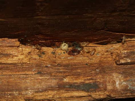 bed bugs wood pestseek