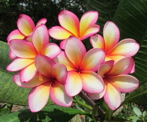 Photo of the bloom of Plumeria (Plumeria rubra 'Gloria ...