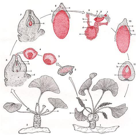 le cycle de vie des gymnospermes