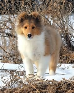 laureate shelties zoo pinterest beautiful shetland