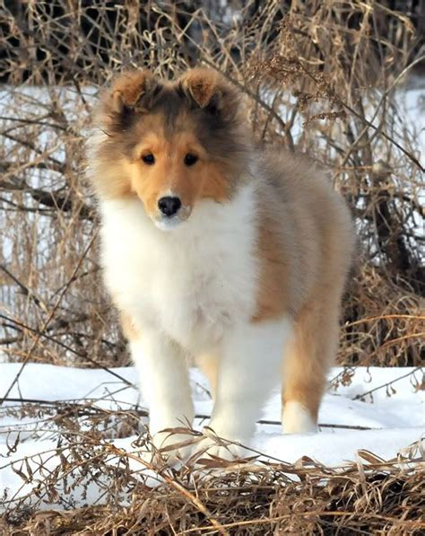 sheltie shedding puppy coat laureate shelties zoo beautiful shetland