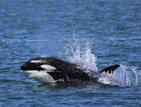 Transient Orca Whale Watching Information In Wa