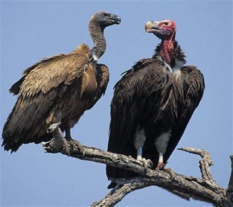 vulture animal wildlife