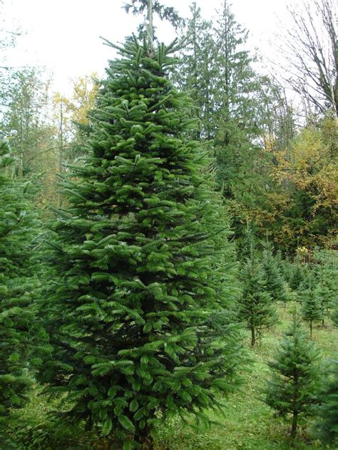 view source image i love evergreens pinterest trees