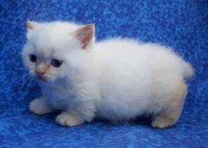 27 best images about Munchkins #Cats on Pinterest ...