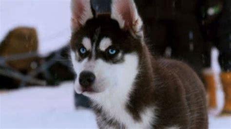 shasta  puppy clips disney video
